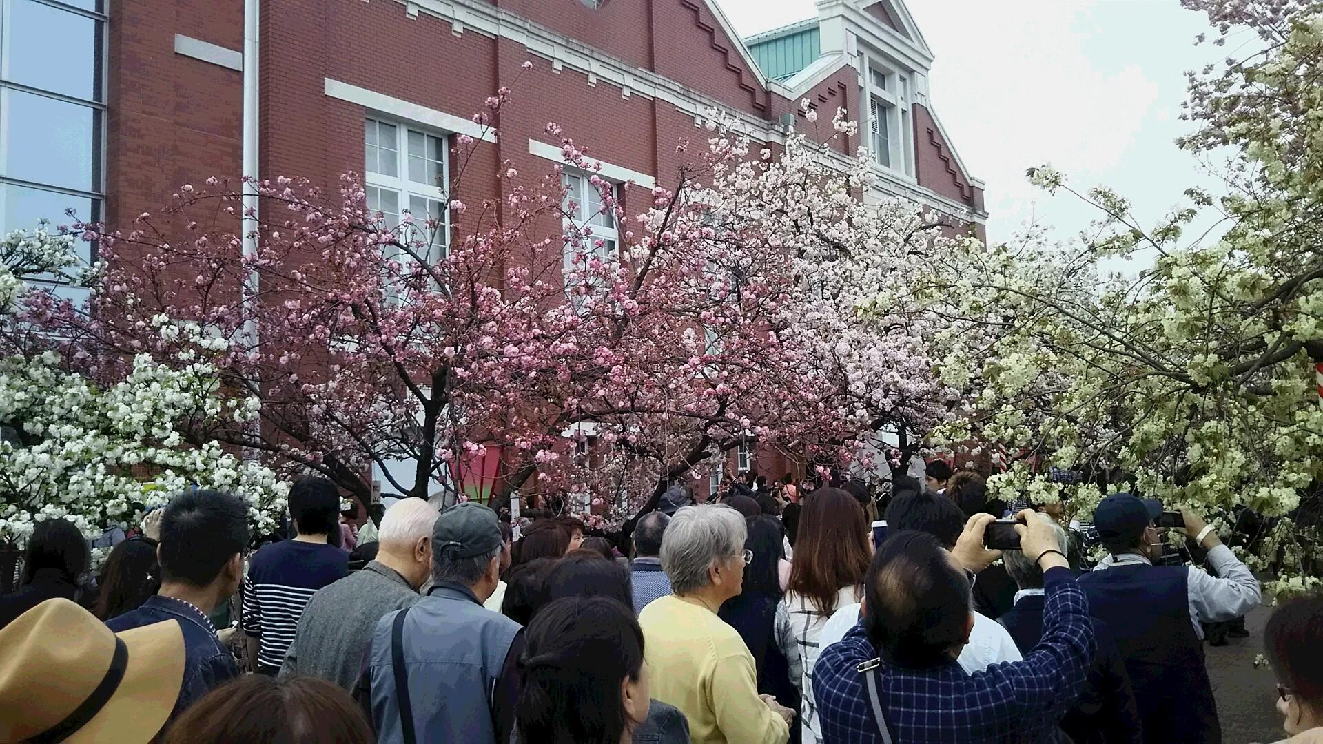 造幣局桜の通り抜け28,4,9