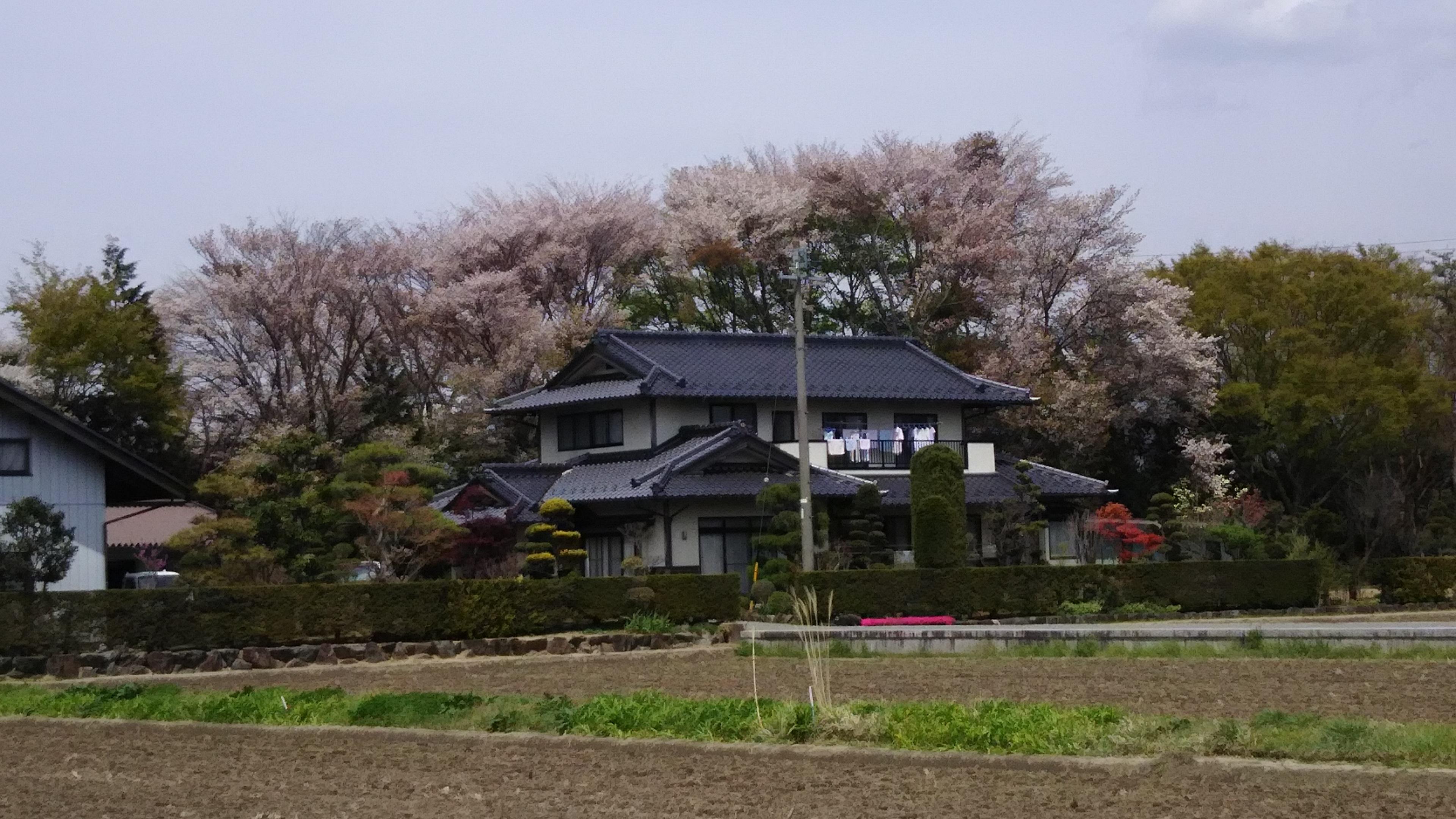 28,4,24山桜のある農家